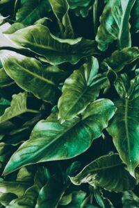 Jungle Boogie plant